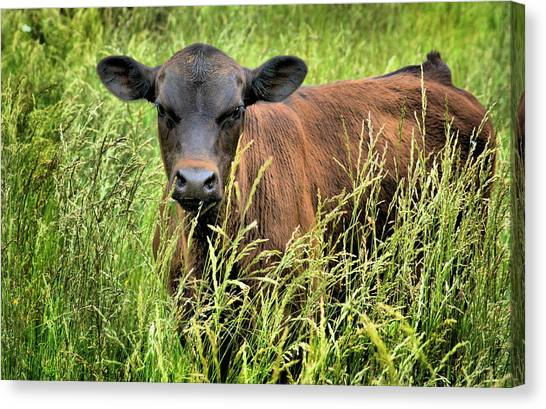 Spring Calf In Grassy Pasture Canvas Print by Virginia Folkman