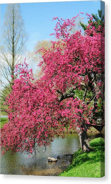 Spring Crabapple Canvas Print