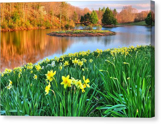 Spring Daffodils At Laurel Ridge-connecticut  Canvas Print