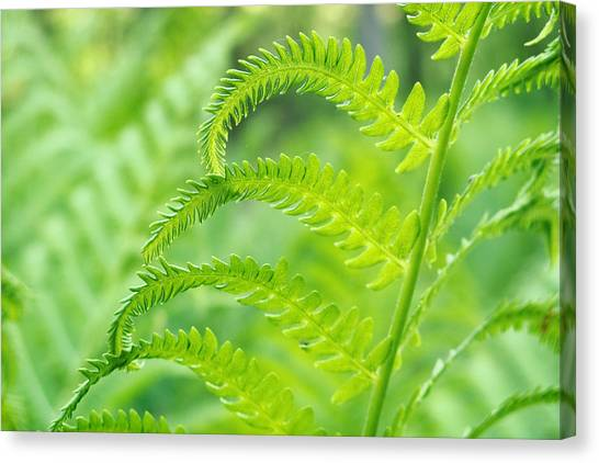 Spring Fern Canvas Print