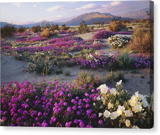 Spring Flowers Carpet Anza Borrego State Park Canvas Print by Ron and Patty Thomas