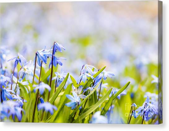 Early Spring Canvas Print - Spring Flowers  by Elena Elisseeva