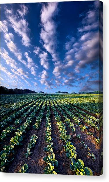 Cabbage Canvas Print - Spring Fresh by Phil Koch