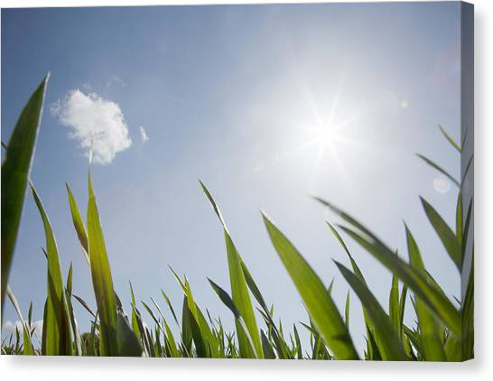 Spring Grass And Sun In The Sky Canvas Print by David Trood