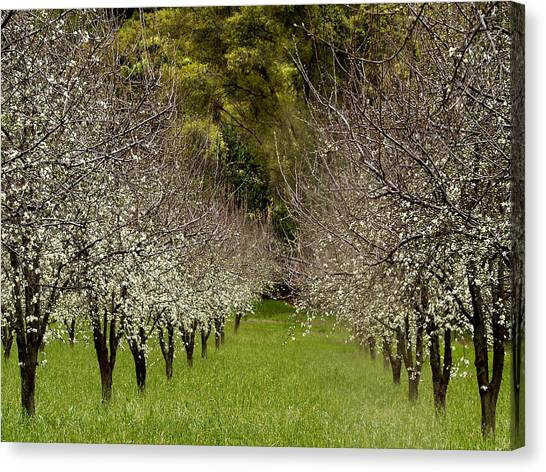 Orchard Canvas Print - Spring Has Sprung by Bill Gallagher