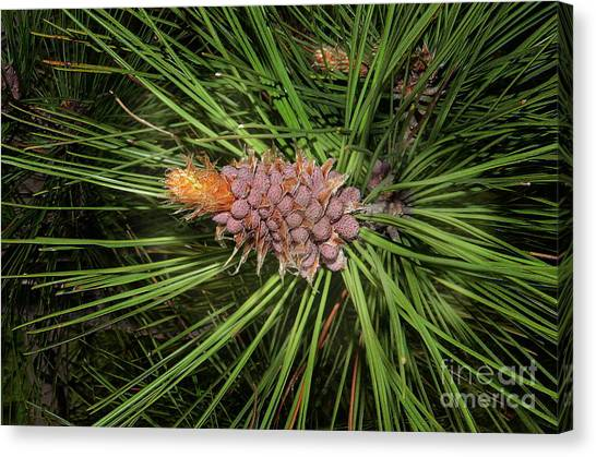 Spring In The Pines Canvas Print by The Stone Age