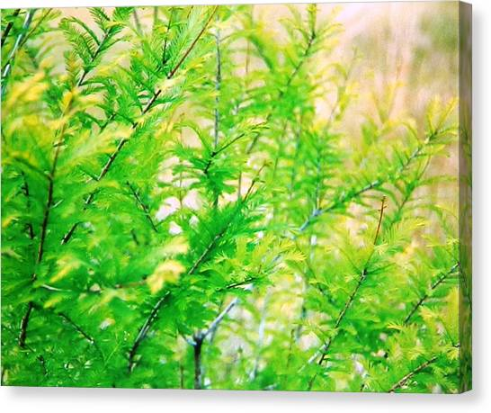 Spring Cypress Beauty Canvas Print