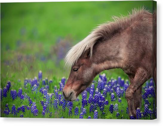 Bluebonnets Canvas Print - Spring Is In The Air... by Michael Zheng