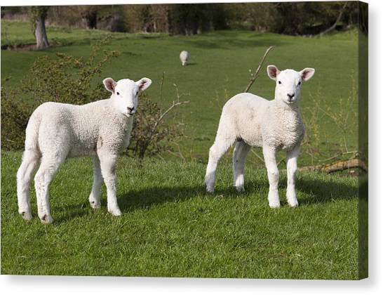 Spring Lambs Canvas Print