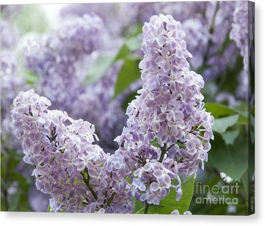 Spring Lilacs In Bloom Canvas Print