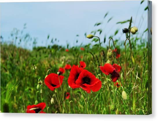 Spring Poppy Field Canvas Print by Marina Slusar