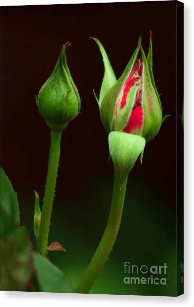 Spring Rose Bud Canvas Print