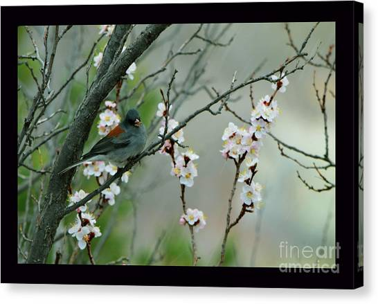 Spring Snow In Apricots Canvas Print