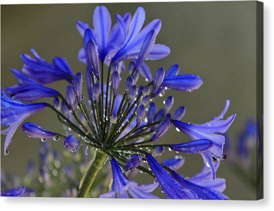 Spring Time Blues Canvas Print