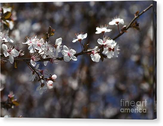 Spring White Blossom Canvas Print