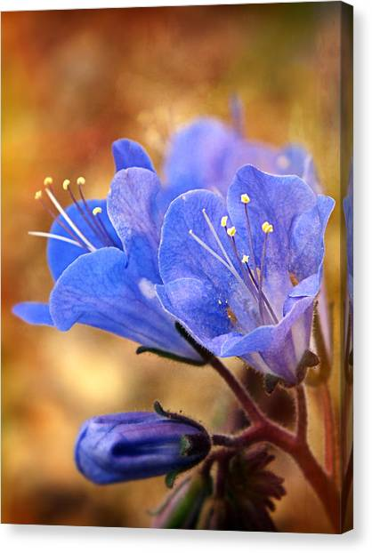 Spring Wildflowers - The Desert Bluebells Canvas Print