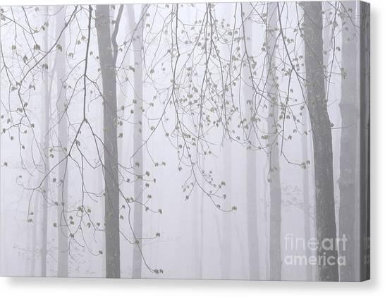 Spring Woodland Fog 2 Canvas Print