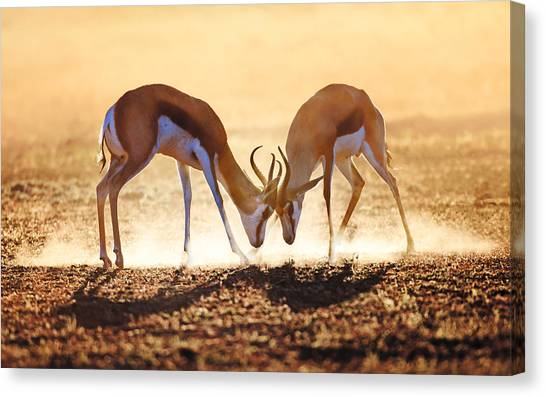 South Africa Canvas Print - Springbok Dual In Dust by Johan Swanepoel