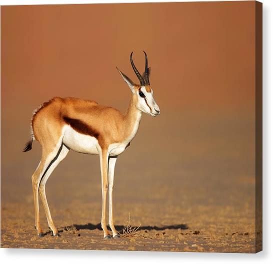 Kalahari Desert Canvas Print - Springbok On Sandy Desert Plains by Johan Swanepoel