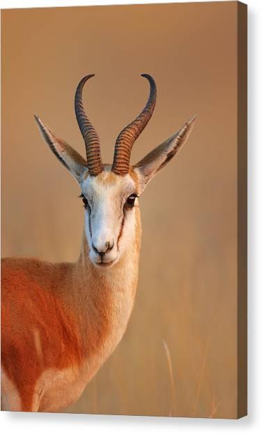 Mammal Canvas Print - Springbok  Portrait by Johan Swanepoel