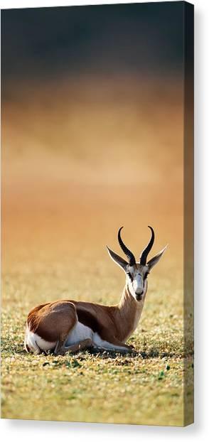 Kalahari Desert Canvas Print - Springbok Resting On Green Desert Grass by Johan Swanepoel