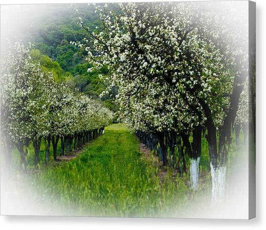 Orchard Canvas Print - Springtime In The Orchard by Bill Gallagher