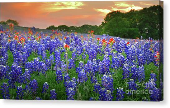 Bluebonnets Canvas Print - Springtime Sunset In Texas - Texas Bluebonnet Wildflowers Landscape Flowers Paintbrush by Jon Holiday