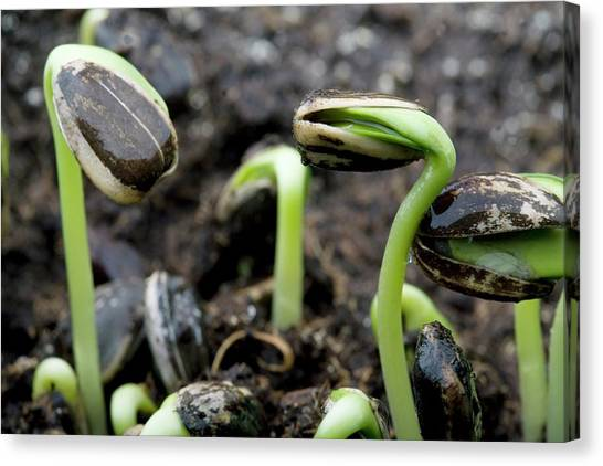 Sunflower Seeds Canvas Print - Sprouting Seedlings by Steve Percival/science Photo Library