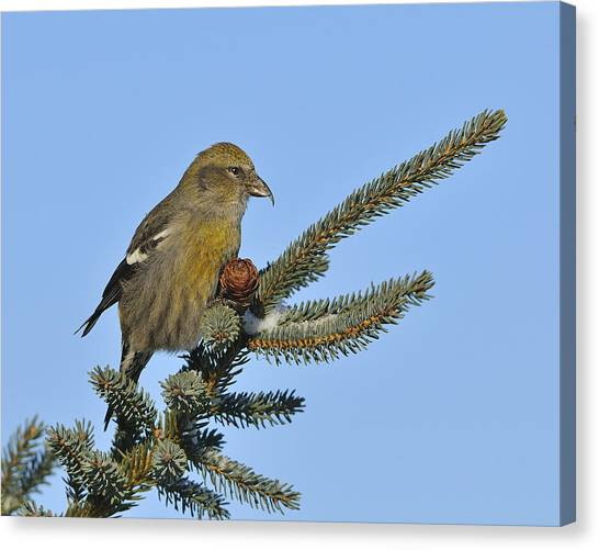 Crossbills Canvas Print - Spruce Cone Feeder by Tony Beck