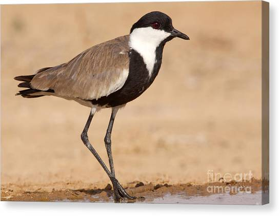 Lapwing Canvas Print - Spur-winged Lapwing Vanellus Spinosus by Eyal Bartov