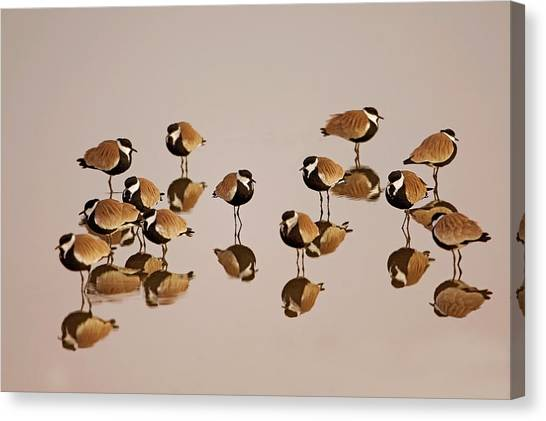 Lapwing Canvas Print - Spur-winged Lapwing (vanellus Spinosus) by Photostock-israel