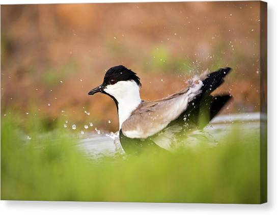 Lapwing Canvas Print - Spur-winged Lapwing Vanellus Spinosus by Photostock-israel/science Photo Library