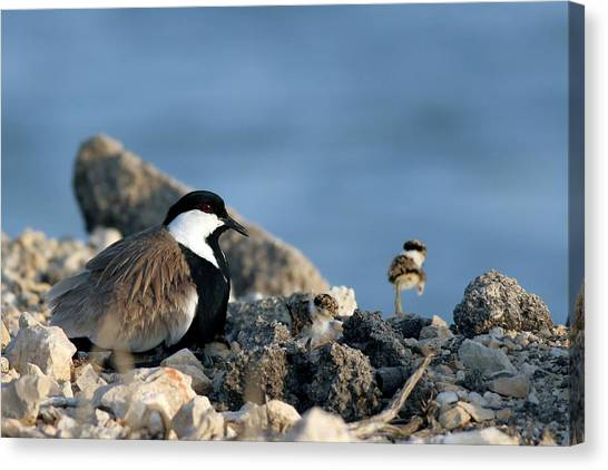 Lapwing Canvas Print - Spur-winged Plover And Chick by Photostock-israel/science Photo Library