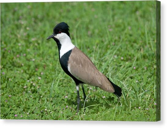 Lapwing Canvas Print - Spur-winged Plover by Nigel Downer
