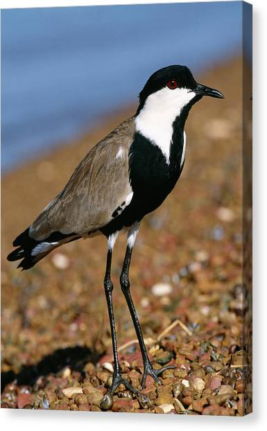 Lapwing Canvas Print - Spur-winged Plover by Tony Camacho/science Photo Library