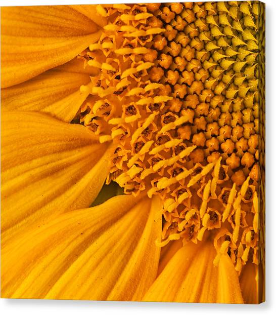 Sunflower Seeds Canvas Print - Square Sunflower by Mark Kiver