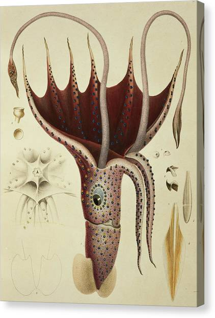 Squids Canvas Print - Squid by A Chazal