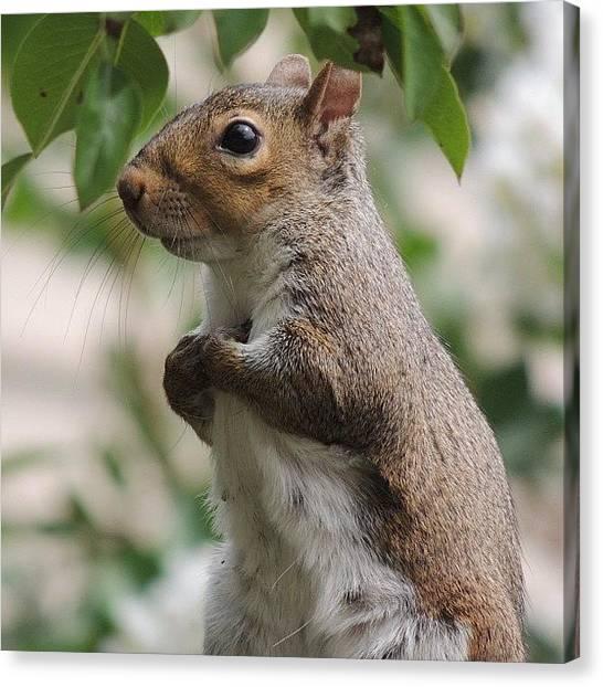 Squirrels Canvas Print - #squirrel #nature #wildlife #funny by Robb Needham