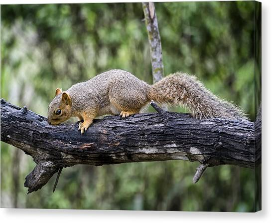 Squirrel Snacking Canvas Print
