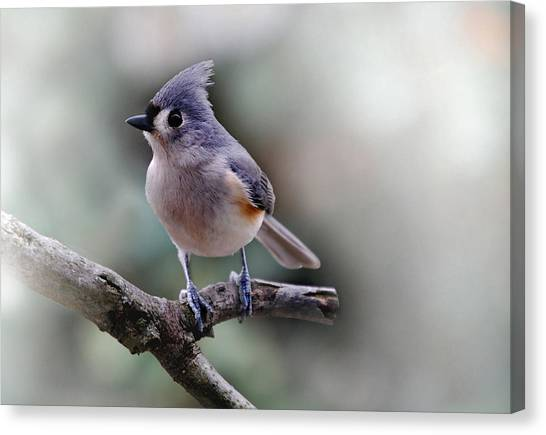 Titmice Canvas Print - Spring Time Titmouse by Skip Willits