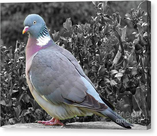 St. Andrews Pigeon Canvas Print