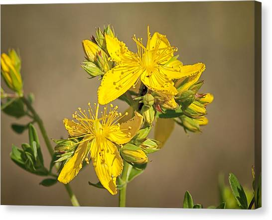 St Johns Wort Canvas Print