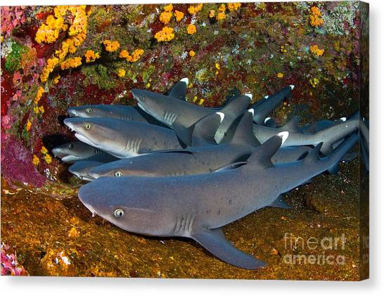 White Tip Sharks Canvas Print - Stacked by Aaron Whittemore