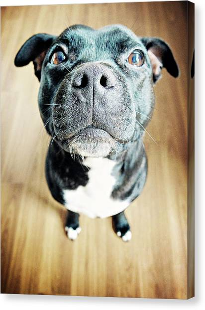 Staffordshire Bull Terrier Canvas Print by Michelle Mcmahon