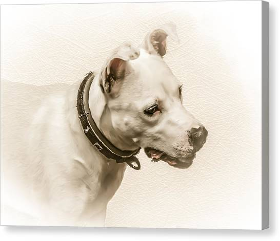English Bull Dogs Canvas Print - Staffordshire Terrier by Ian Hufton