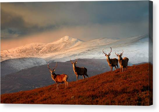Stags At Strathglass Canvas Print