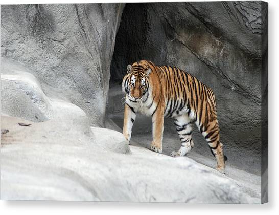 Stalking Tiger Canvas Print by Ginger Harris