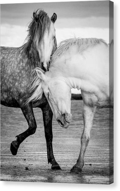 Black Stallion Canvas Print - Stallions Of The Carmargue by Tim Booth