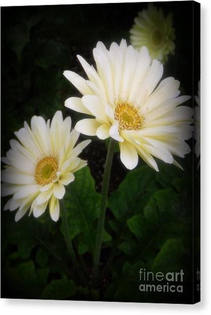 Stand By Me Gerber Daisy Canvas Print