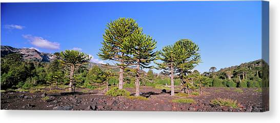 Stand Of Monkey Puzzle Trees (araucaria Canvas Print by Martin Zwick